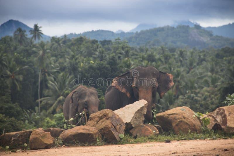 Elefanter i en orphenage i Sri Lanka arkivfoto