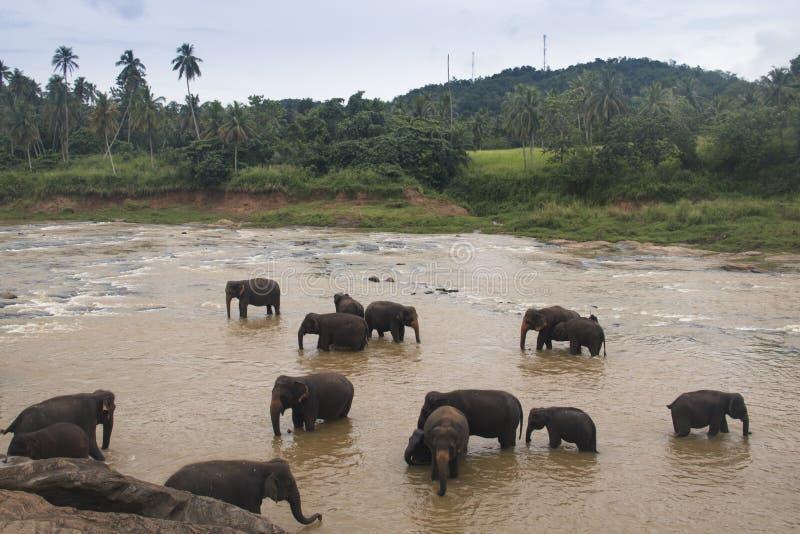 Elefanter i en orphenage i Sri Lanka arkivfoton