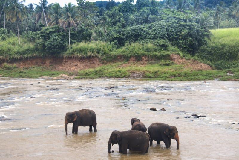 Elefanter i en orphenage i Sri Lanka arkivbilder