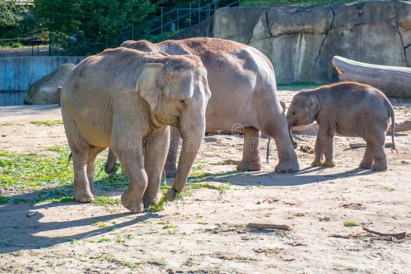 Elefanter i en zoo utomhus royaltyfri foto
