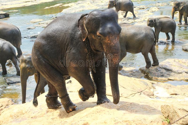 Elefanter i kedjor, grymhet till djur i Pinnawala barnhem S royaltyfria bilder