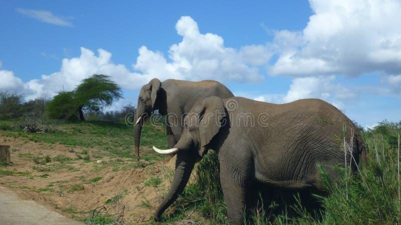 Elefanter i söder - afrikansk buske arkivbilder