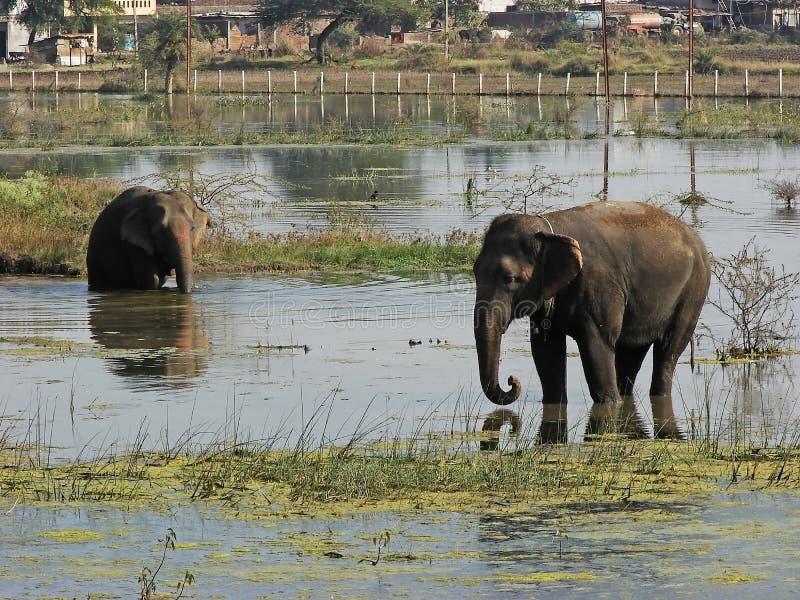 Elefanter i sjön royaltyfri fotografi