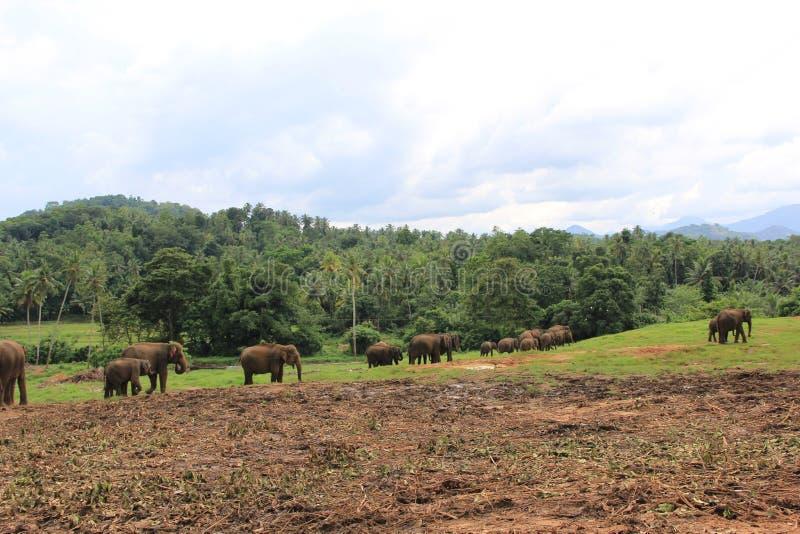 Elefanter i Sri Lanka fotografering för bildbyråer