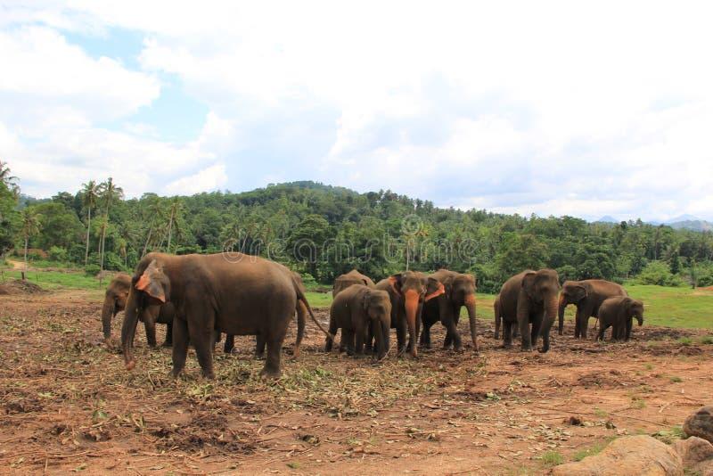 Elefanter i Sri Lanka royaltyfri foto