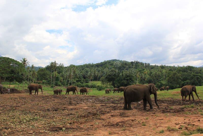 Elefanter i Sri Lanka royaltyfri bild