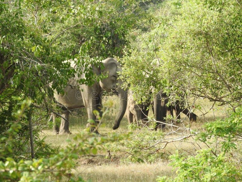 Elefanter i Sri Lanka Tv? unga asiatiska elefanter i nationalparken, Sri Lanka Asiatiska elefanter p? gr?s med berg och fotografering för bildbyråer