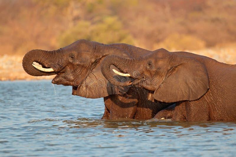 Elefanter i vatten royaltyfri foto