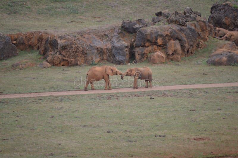 Elefanter med valthornet som flätas ihop i det naturligt, parkerar av Cabarceno den gamla minen av järnextraktion Augusti 25, 201 royaltyfri fotografi