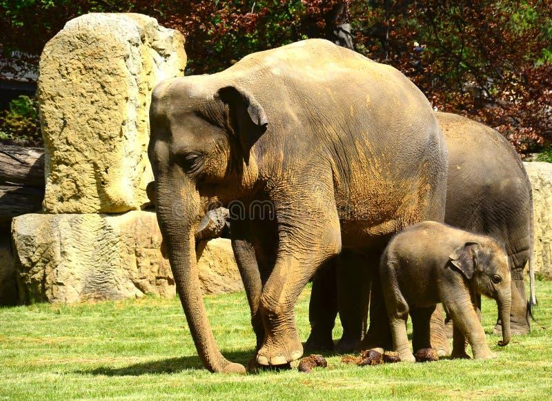 Elefanter - modern, behandla som ett barn och liten tant royaltyfria foton