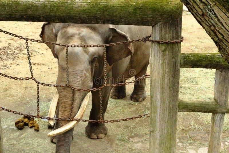 Elefanter och kedjor royaltyfri bild
