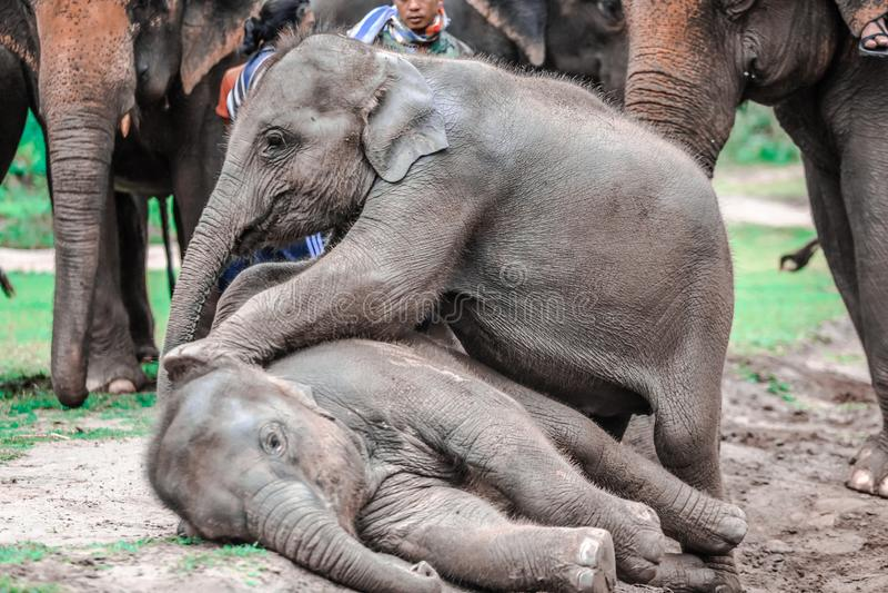 Elefanter på den Patara elefantlantgården, Chiang Mai, Thailand arkivfoton