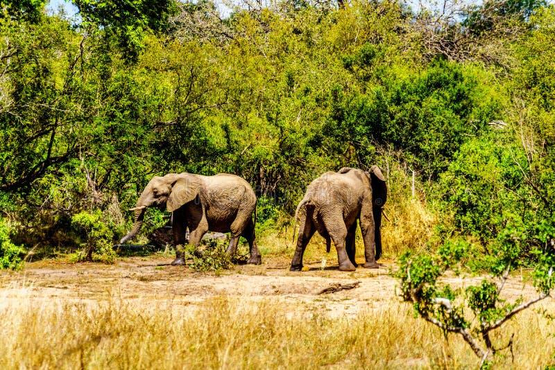 Elefanter på Olifantdrinkgat, ett bevattna hål nära Skukuza vilar lägret En av tvåna som urinerar after att ha, drack för mycket  fotografering för bildbyråer