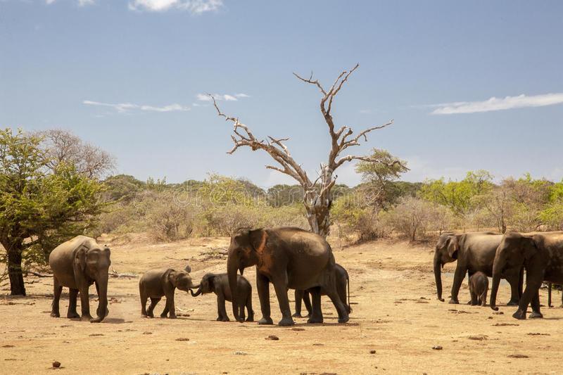 Elefanter på Safari Sri Lanka royaltyfria foton