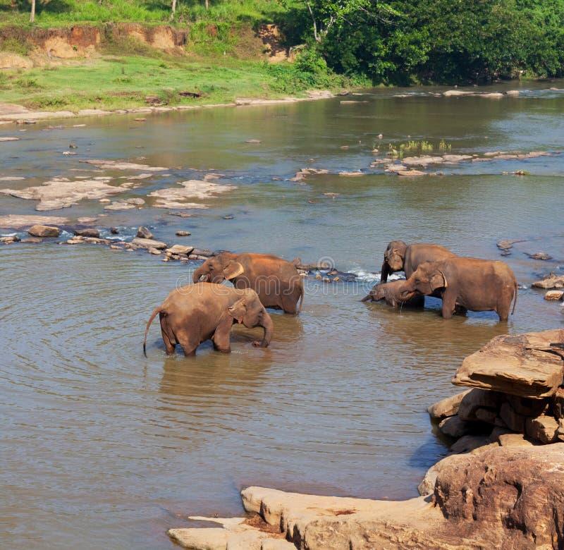 Elefanter på Sri Lanka royaltyfri foto