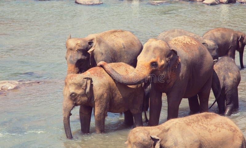 Elefanter på Sri Lanka arkivfoto