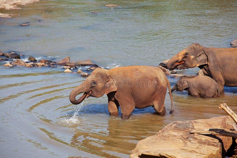 Elefanter på Sri Lanka royaltyfri bild