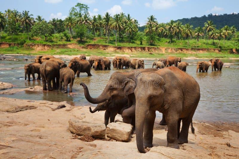 Elefanter på Sri Lanka royaltyfria foton