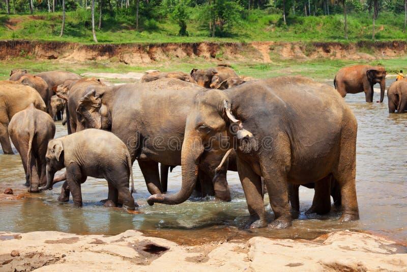 Elefanter på Sri Lanka arkivbild