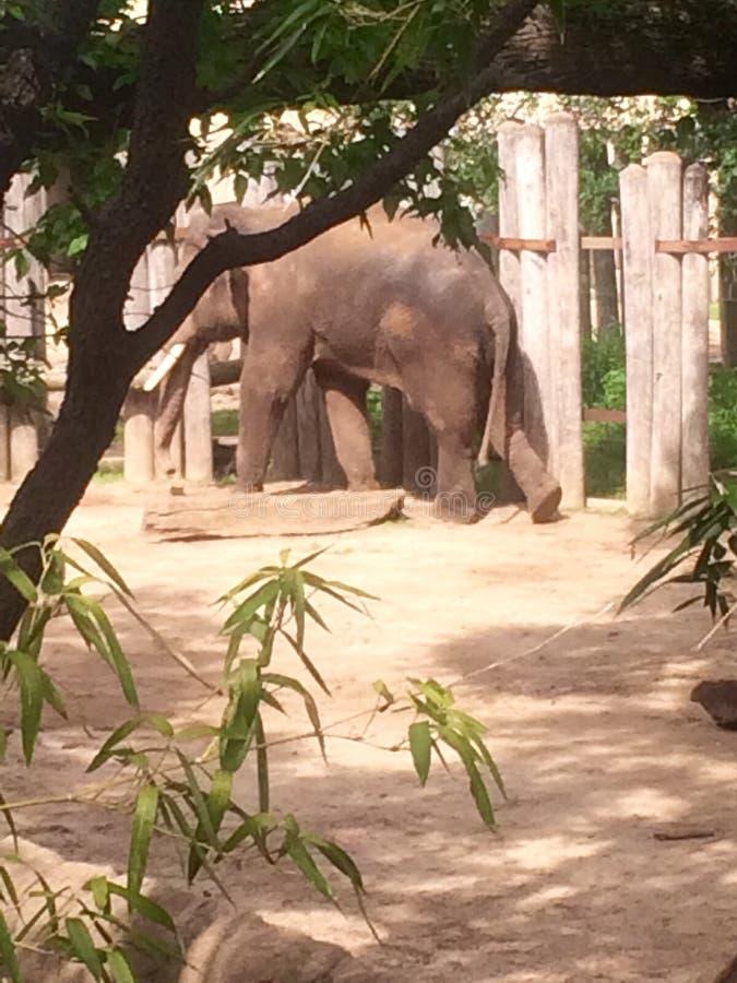 Elefanter på zoo arkivbilder