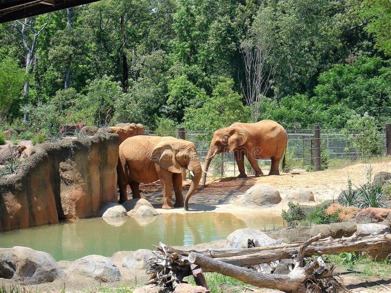 Elefanter på zoo fotografering för bildbyråer