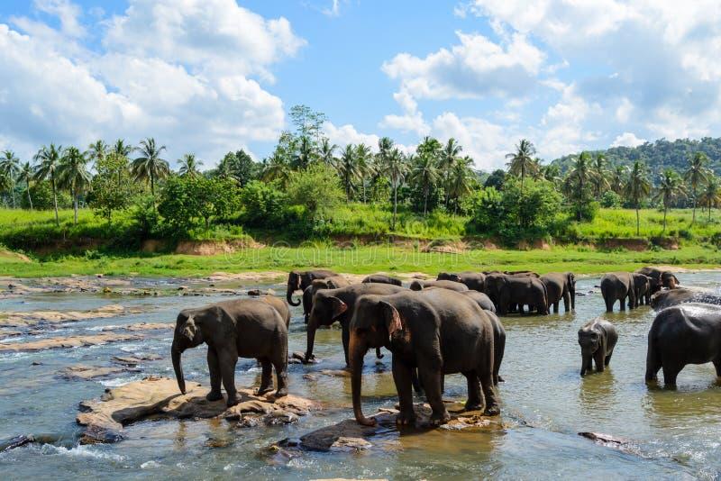 Elefanter som badar i en sjö i den Pinnawala orphantagen arkivfoto