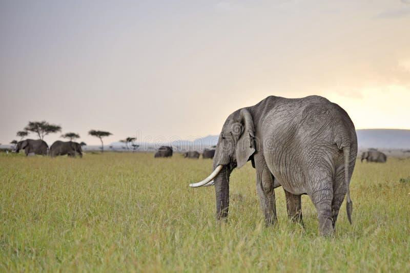 elefanter som betar skymning royaltyfri fotografi