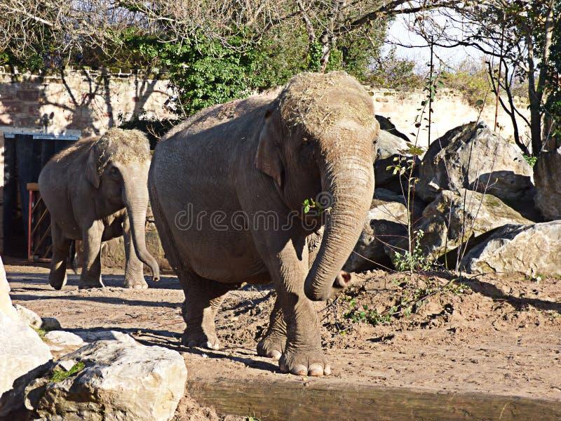 Elefanter som går in mot kameran fotografering för bildbyråer