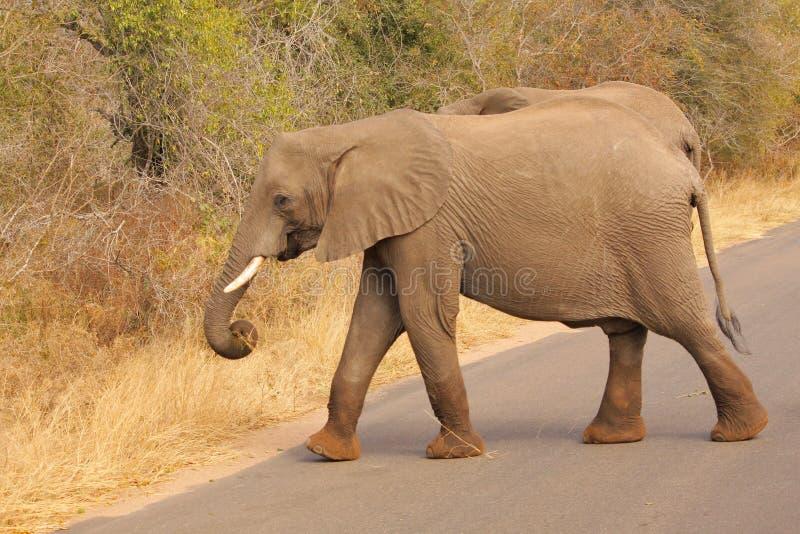 Elefanter som korsar den vägKruger nationalparken royaltyfri foto