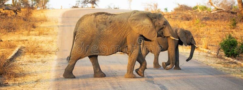 Elefanter som korsar vägen i den Kruger nationalparken fotografering för bildbyråer