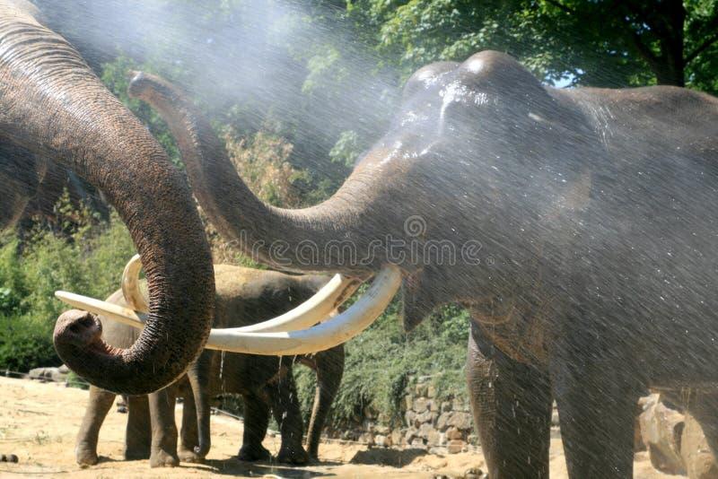 elefanter som leker sommar royaltyfria foton