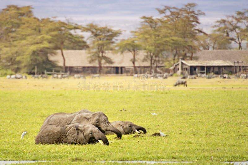 elefanter som matar flockswampen arkivfoto