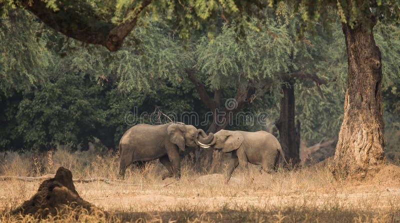 Elefanter som munhuggas på Manapools arkivfoto