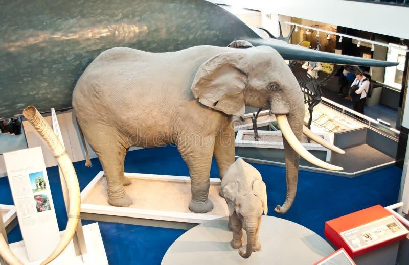Elefanter synliga till naturhistoriamuseet royaltyfri foto
