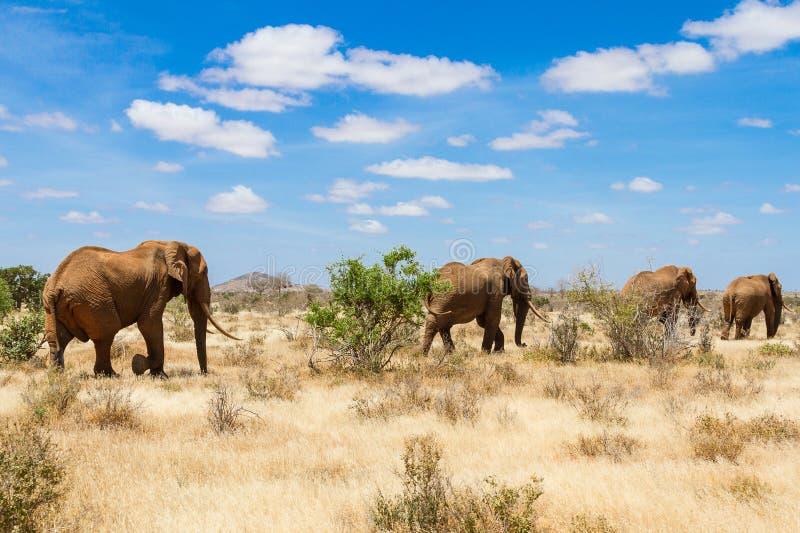 Elefanter Tsavo nationalpark royaltyfri foto