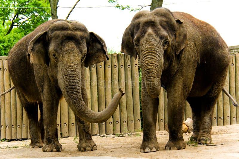 elefanter två arkivfoton
