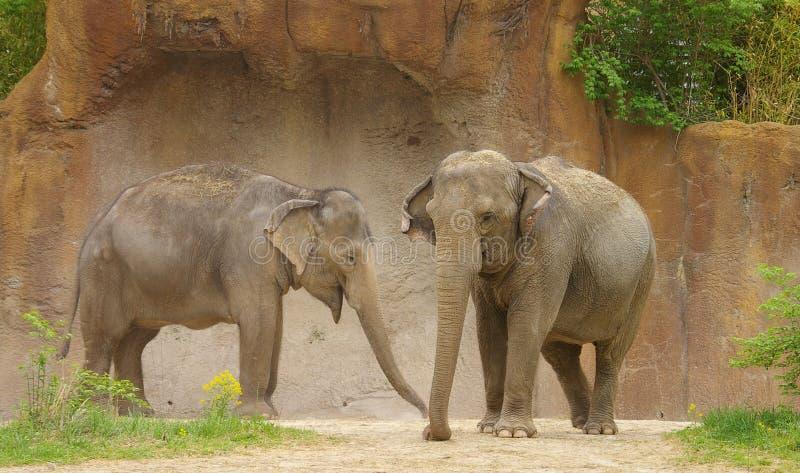 elefanter två arkivbilder