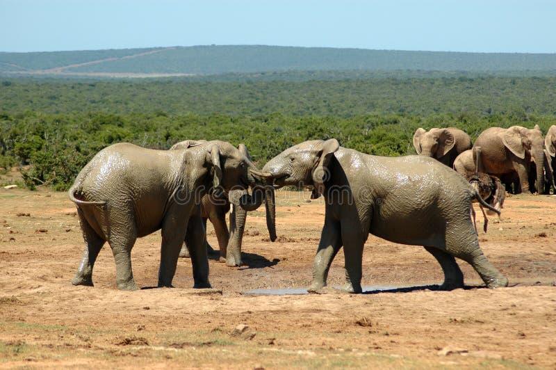 Elefantes imagem de stock
