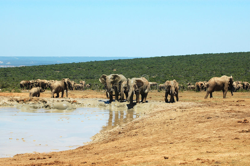 Elefantes fotografía de archivo libre de regalías