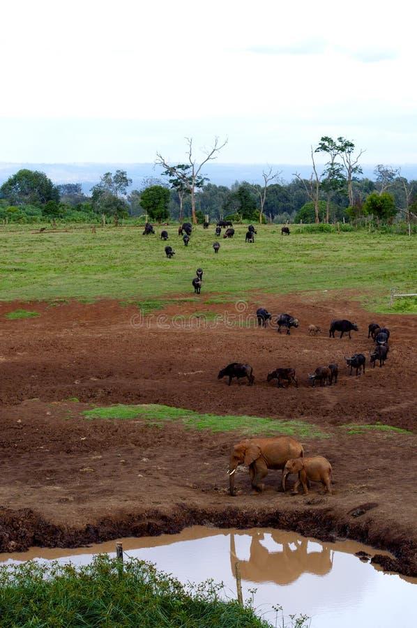 Download Elefantes imagem de stock. Imagem de habitat, kenya, estação - 26511169