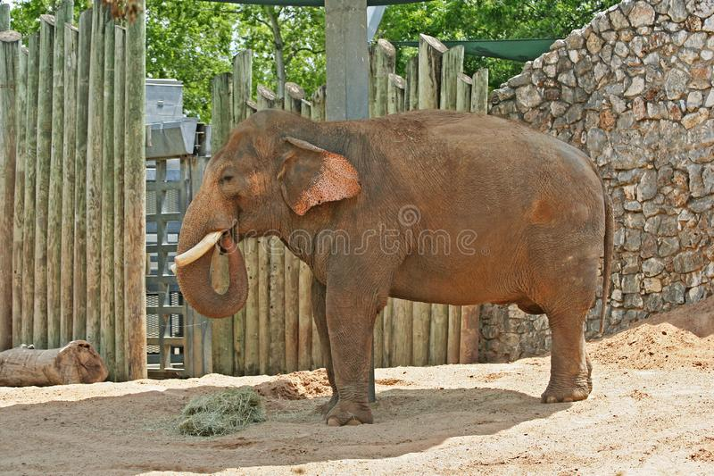 Elefantes adultos