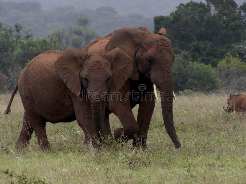 Elefantes africanos fotos de stock