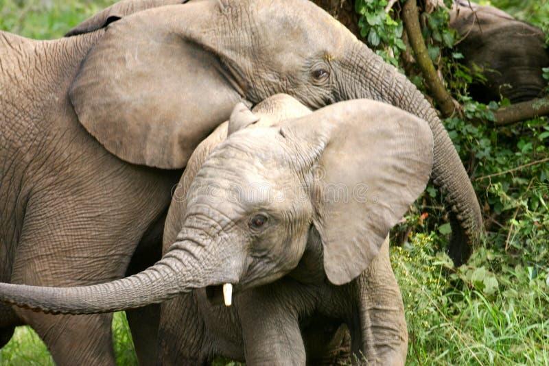 Elefantes africanos fotos de archivo