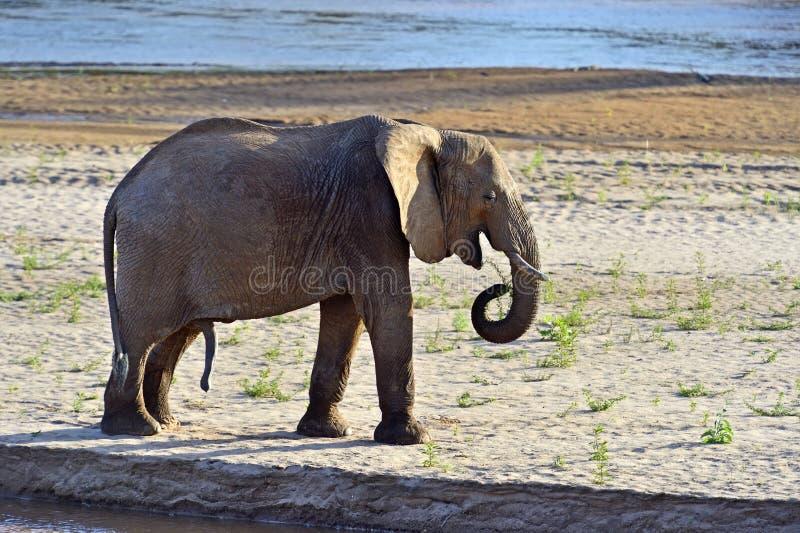 Download Elefantes africanos foto de archivo. Imagen de elefante - 44851474