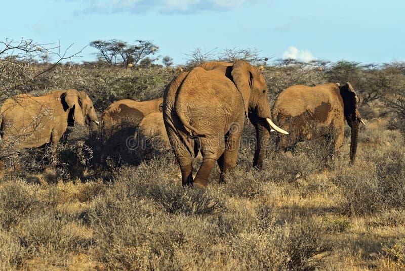 Download Elefantes africanos imagen de archivo. Imagen de animales - 44851539