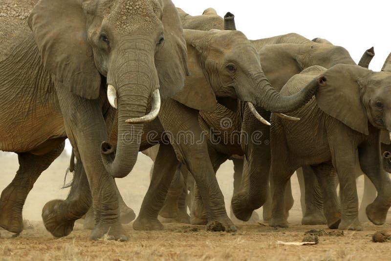 Elefantes africanos fotografía de archivo