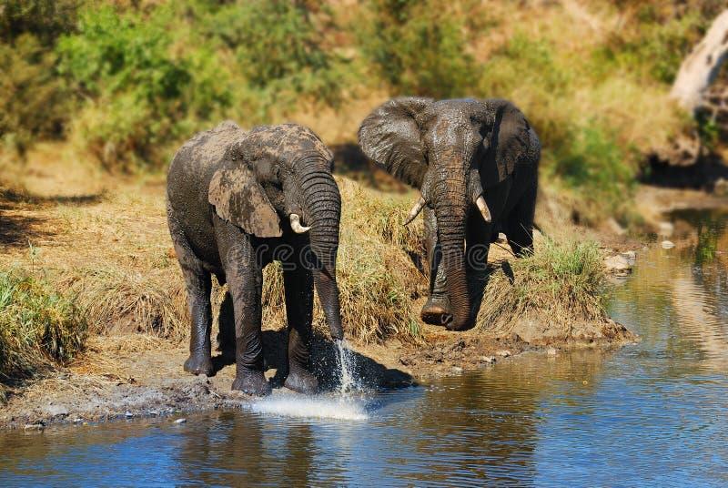 Elefantes africanos (africana del Loxodonta) foto de archivo
