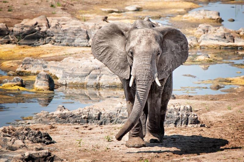 Elefantes africanos (africana del Loxodonta) fotografía de archivo libre de regalías