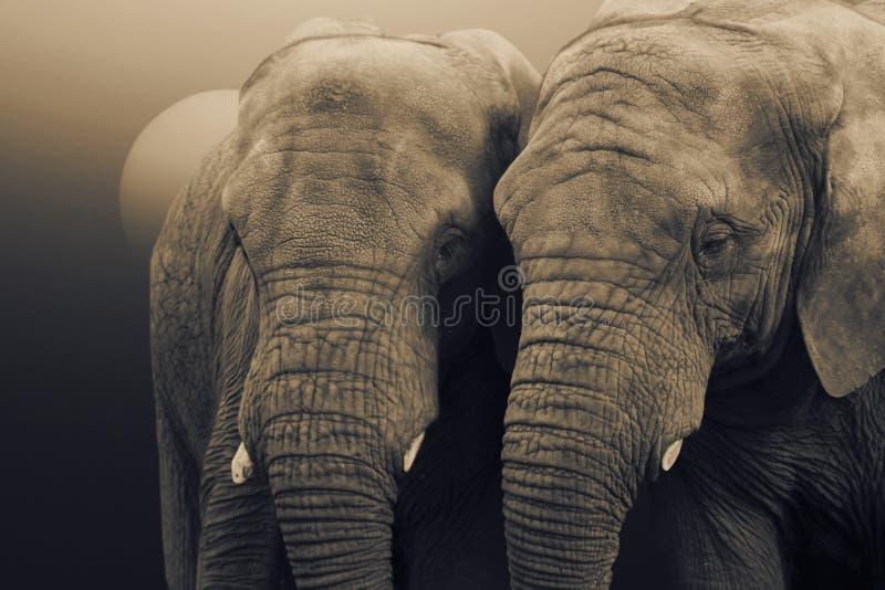 Elefantes africanos, africana del Loxodonta, colocándose con el sol que sube detrás imagenes de archivo