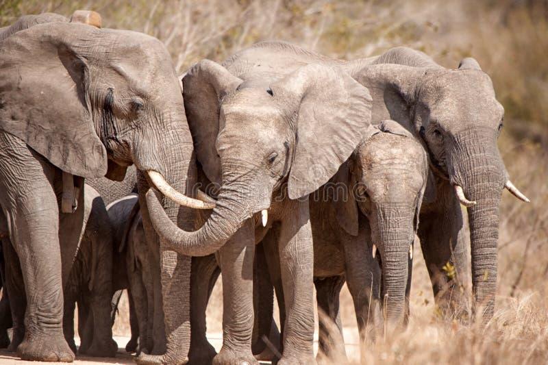 Elefantes africanos (africana do Loxodonta) fotos de stock